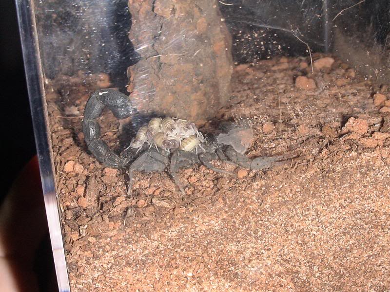 The first of 8 gravid H. judaicus pooped...err popped Hjudaicus_071
