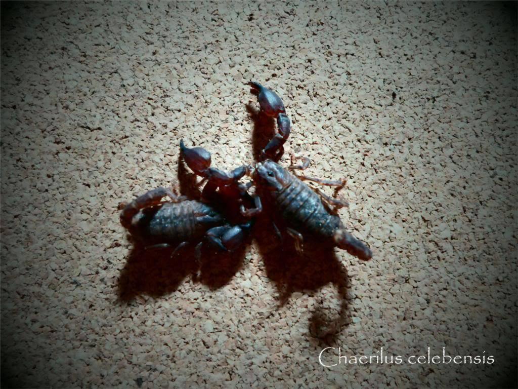 attack of the minions Celebensis