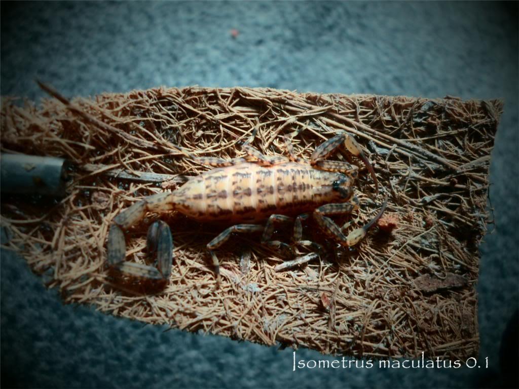 my bark scorpions ImacA-1