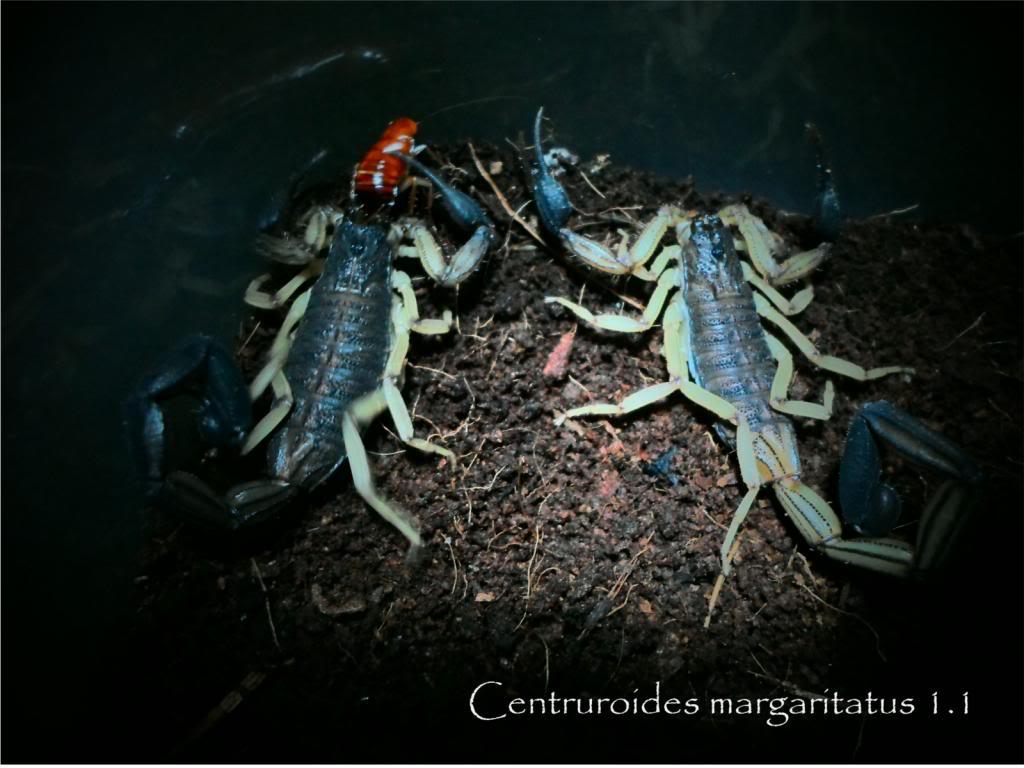 my bark scorpions MargaA