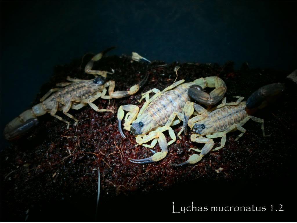 my bark scorpions Mucro