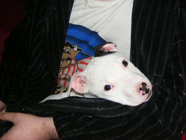 Pics of my dogs Bully_zps7249d8da