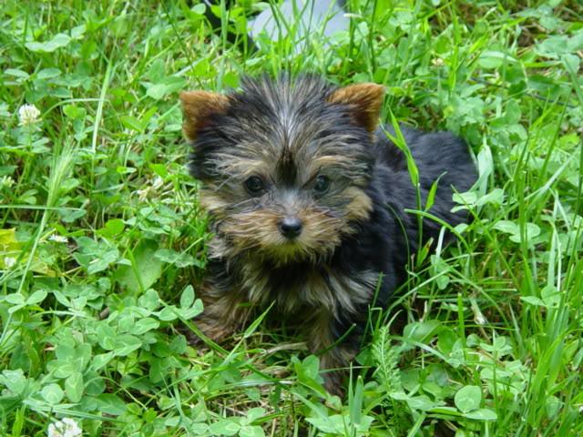 Jorksirski terijer – Yorkshire Terrier Puppa1206