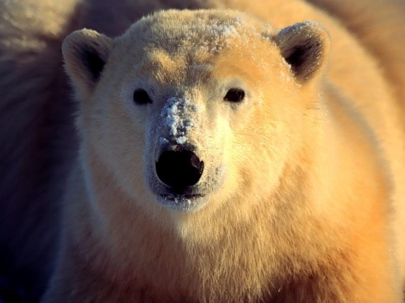 دب القطب الشمالي معلومات وصور فيديو __80