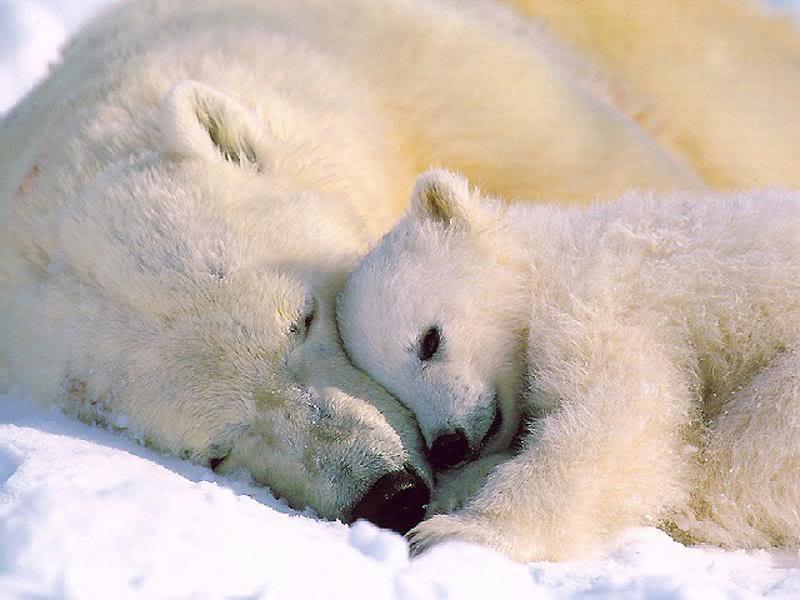 دب القطب الشمالي معلومات وصور فيديو A02