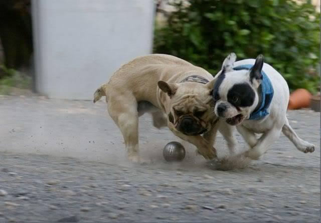 Les chiens Fançais...... 01-Web
