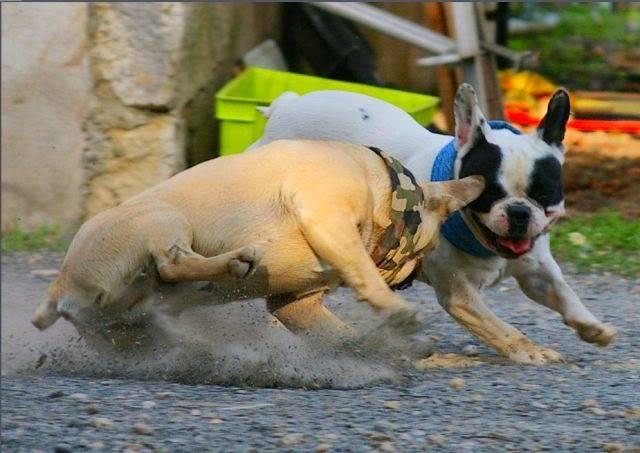 Les chiens Fançais...... 02-Web