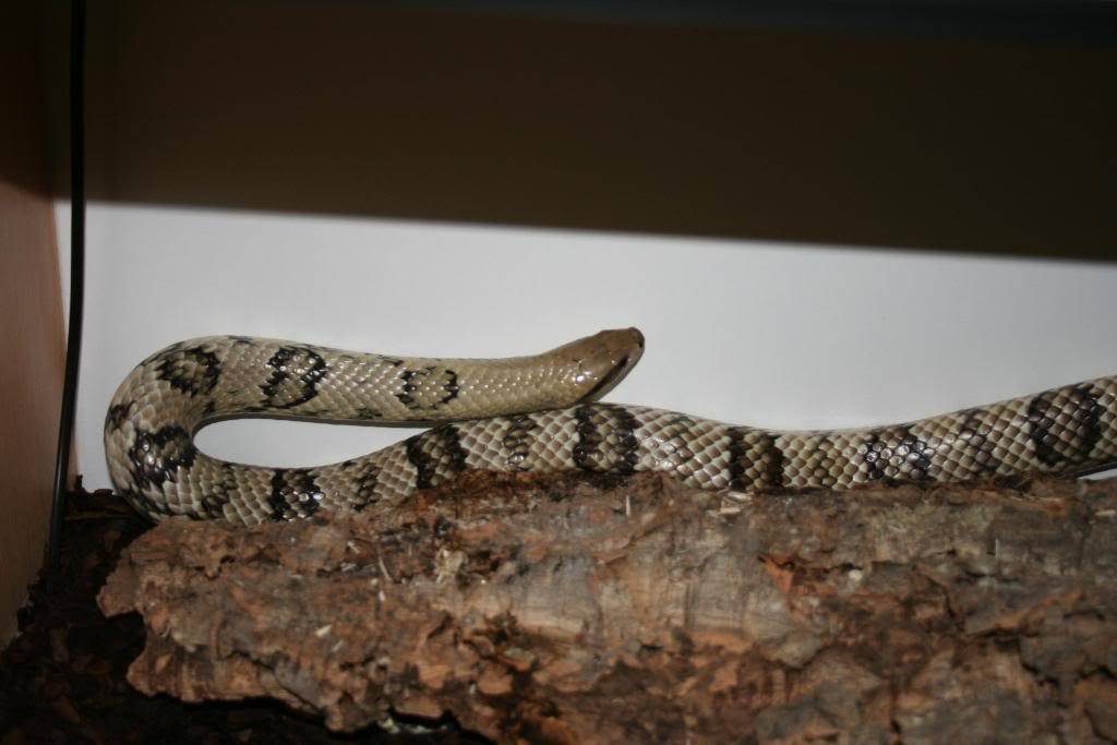 My False Water Cobras, Also my Tri colour.. 017-2