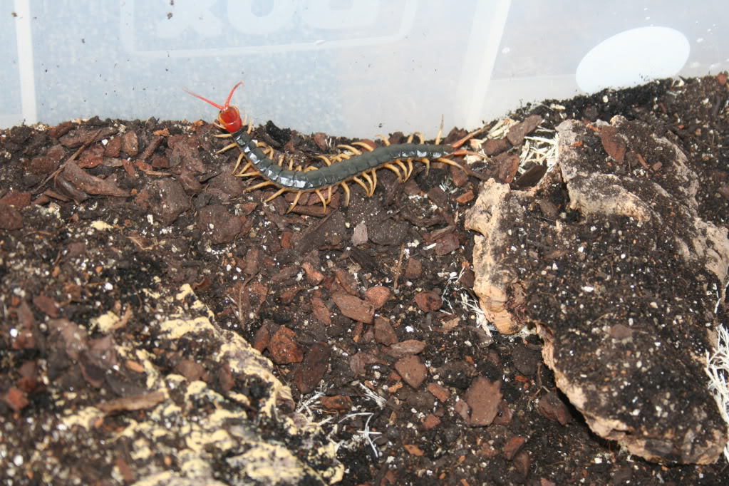 Some of my Centipedes.. ScolopendraMutilansRY006