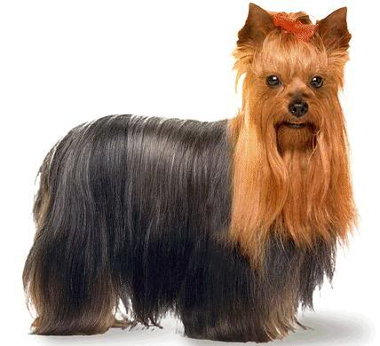 Jorksirski terijer – Yorkshire Terrier Yorkshire_Terrier