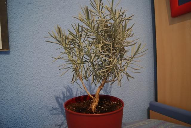 Romero para Pre-bonsai 04-1