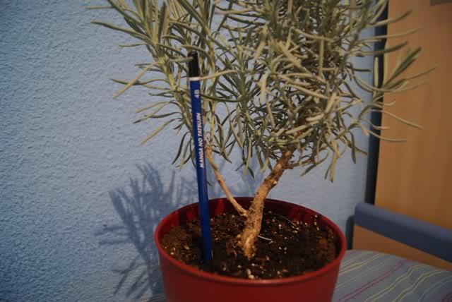 Romero para Pre-bonsai 06