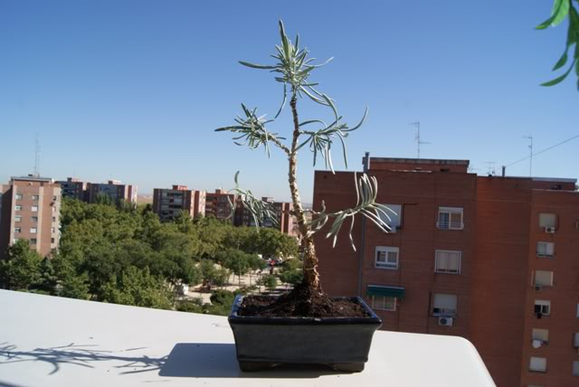 Romero para Pre-bonsai - Página 2 9-2