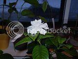 Gardenia Th_P1230403