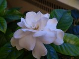 Gardenia Th_P1230405