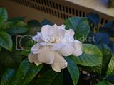 Gardenia Th_P1230406