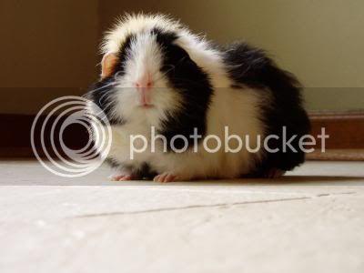 Guinea Pigs Abby