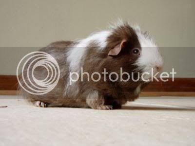 Guinea Pigs BigPig