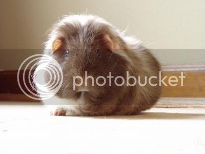 Guinea Pigs Puff