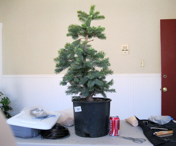 Spruce from Home Depot IMG_3081