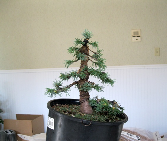 Spruce from Home Depot IMG_3242