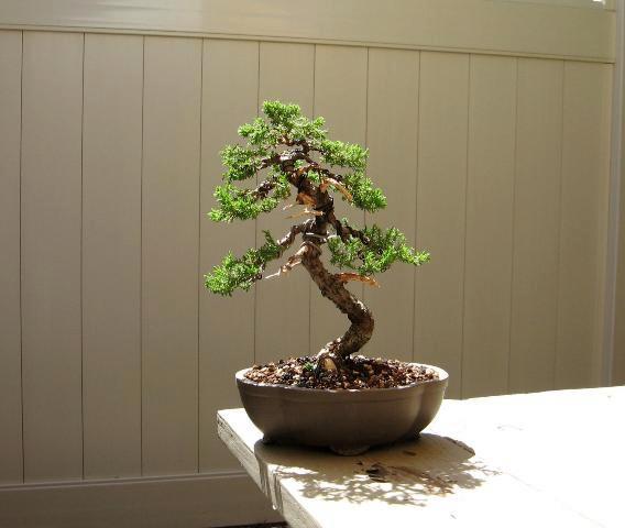 Garden Juniper 6 year progression Pictures2200141-2