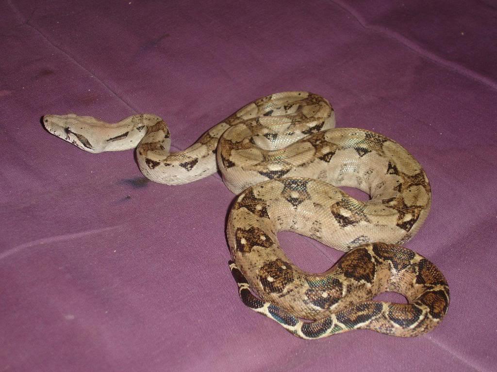 mes serpents DSC00318ADRENALINE