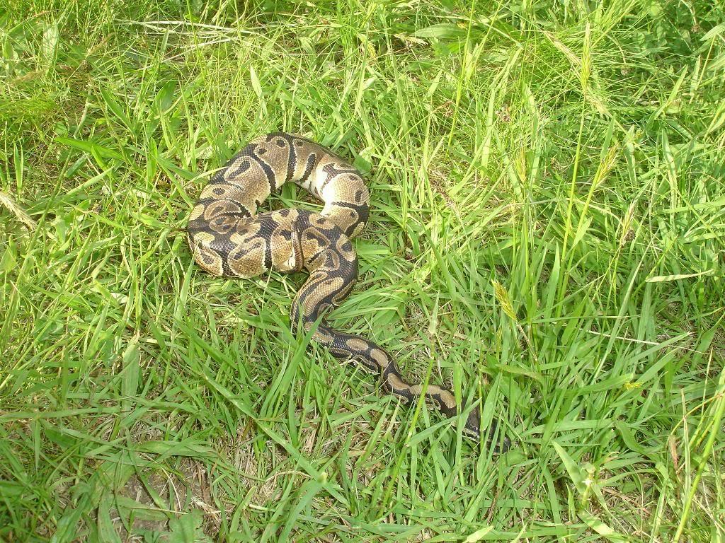 mes serpents DSC05327naphtaline