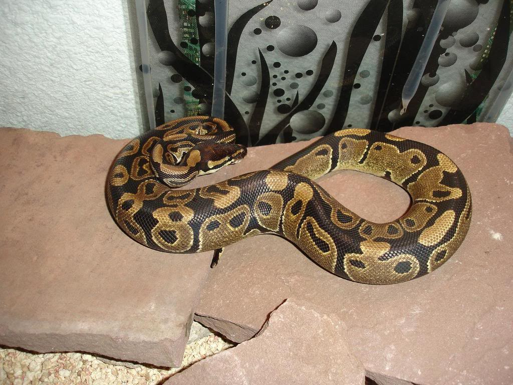 mes serpents DSC09064NAPHTALINE