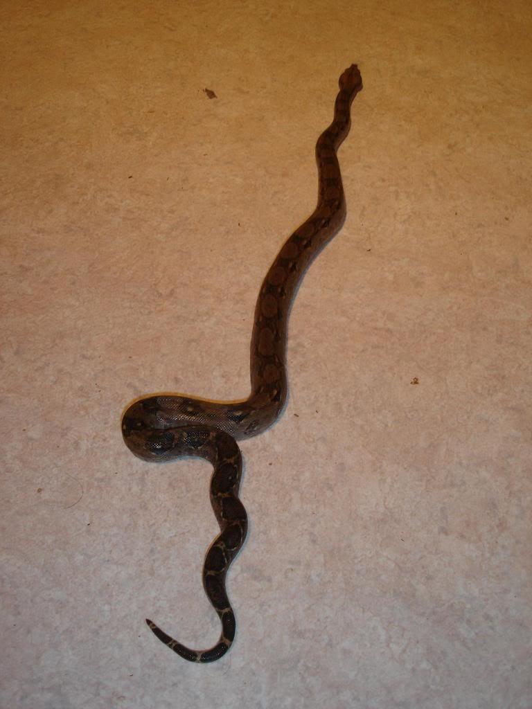 mes serpents DSC09272ADRENALINE