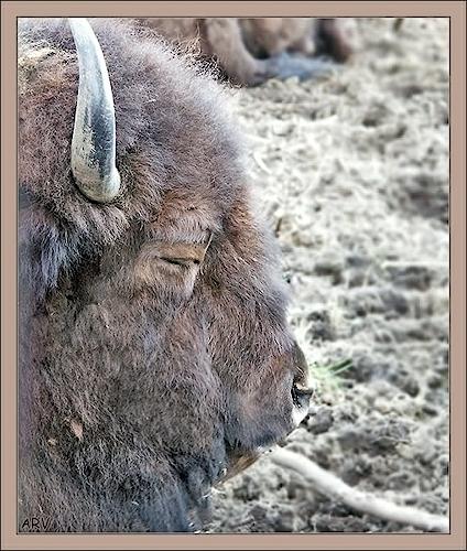 Зубро-бизоны на грани гибели 9bf184c3eb46244a18fec859ae982fd5