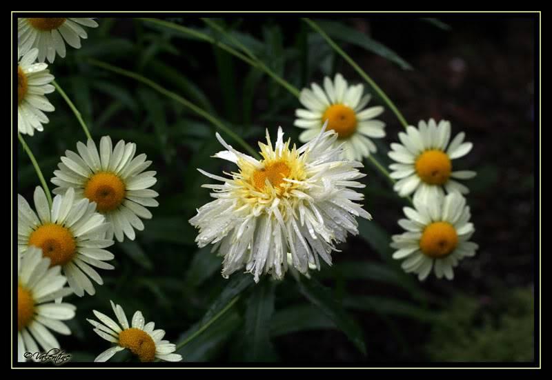 Leucanthemum Goldrausch ... c'est l'intruse LeucanthemumGoldrausch_Anthemis0908