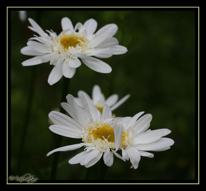 Leucanthemum Thomas Killen LeucanthemumThomasKillen090721_0105