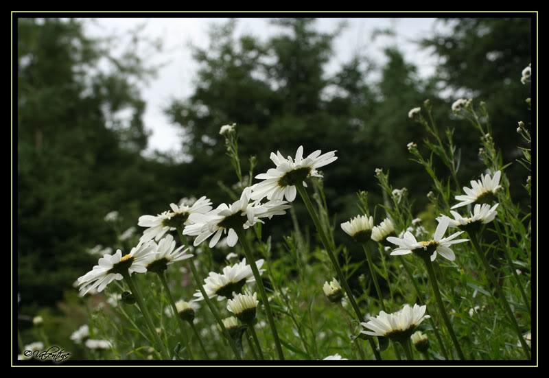 Leucanthemum Thomas Killen LeucanthemumThomasKillen090724_0027