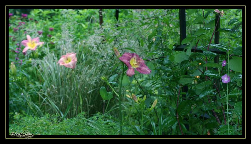 Hemerocallis Charlene et Chicago Blue Eyes HemChicagoBlueEyes090802_0105RM