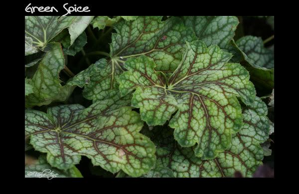 Feuillage en close-up des heucheras - heucherellas - tiarellas HeucheraGreenSpice090813_10RM