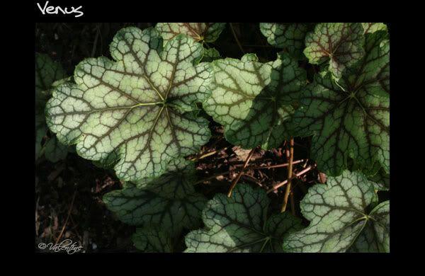 Feuillage en close-up des heucheras - heucherellas - tiarellas HeucheraVenus090813_100RM