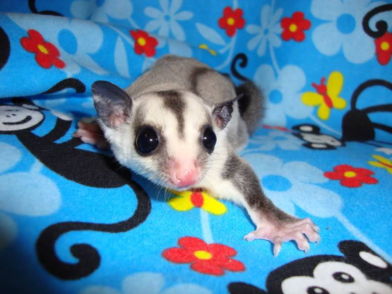 Adorable Joeys available at LuckyYou Gliders!!! DSC00592