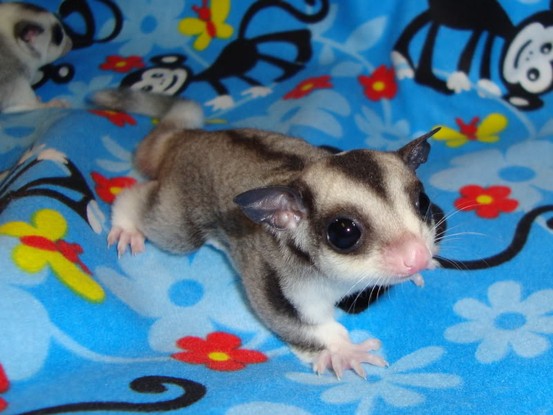 Adorable Joeys available at LuckyYou Gliders!!! DSC00589