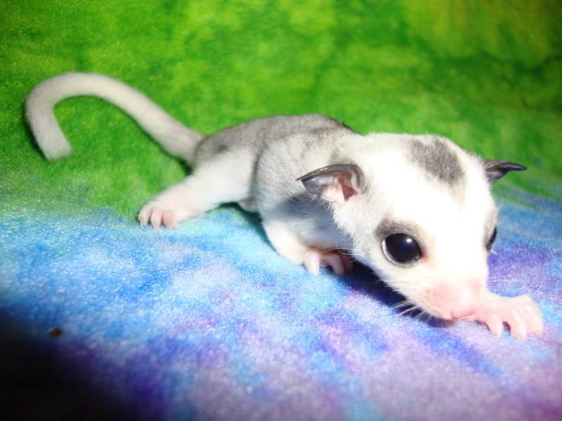 Adorable Joeys available at LuckyYou Gliders!!! DSC00084
