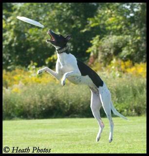 Une whippet en frisbee - photos ViSept108001