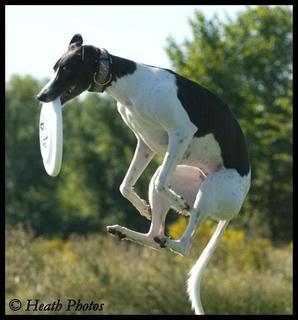 Une whippet en frisbee - photos ViSept108002