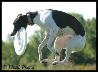 Une whippet en frisbee - photos ViSept108003