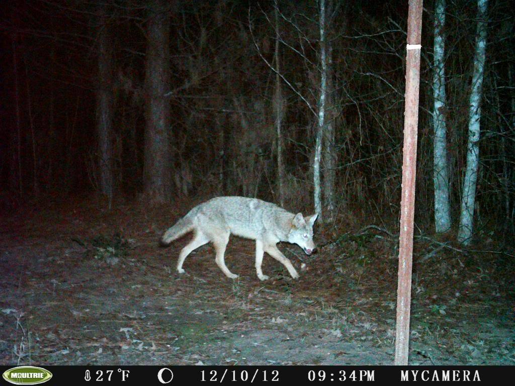 Coyote and Bobcat/Moultrie Unknown Camera PICT0002-1_zps22ea0beb