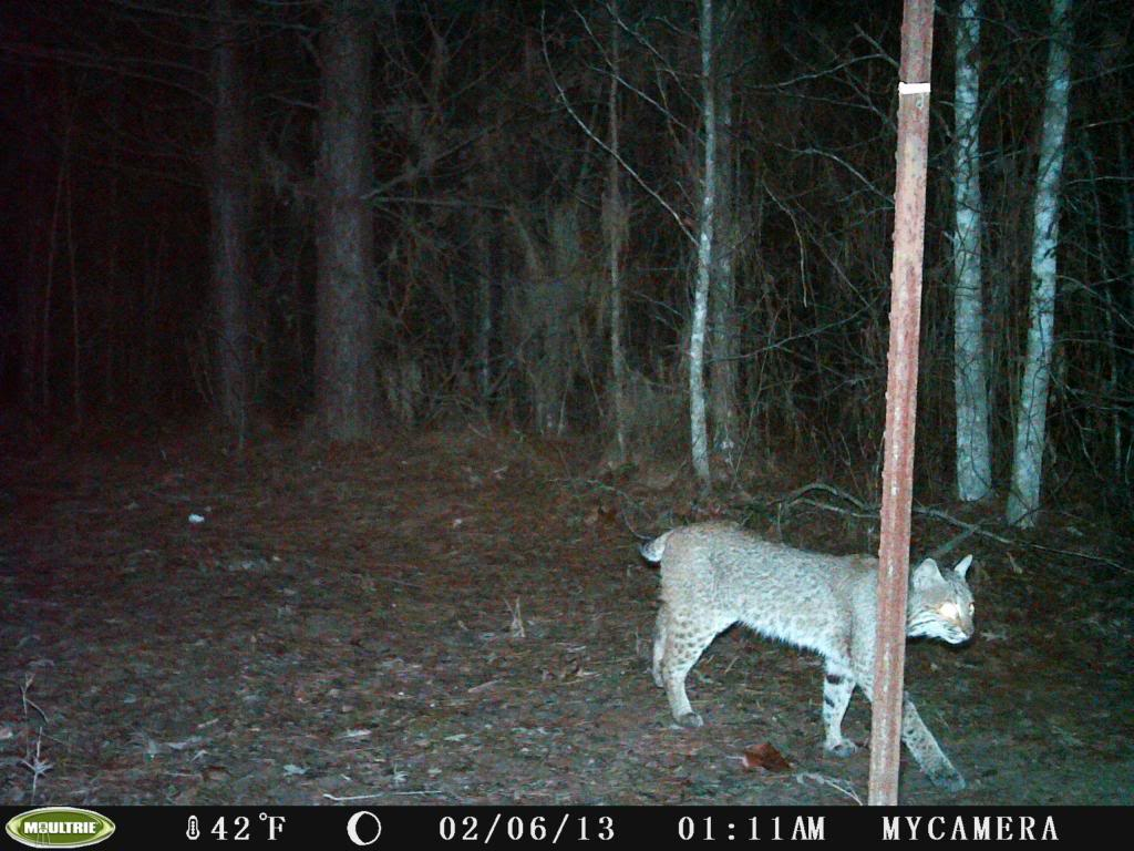 Coyote and Bobcat/Moultrie Unknown Camera PICT0019_zpsba7999be