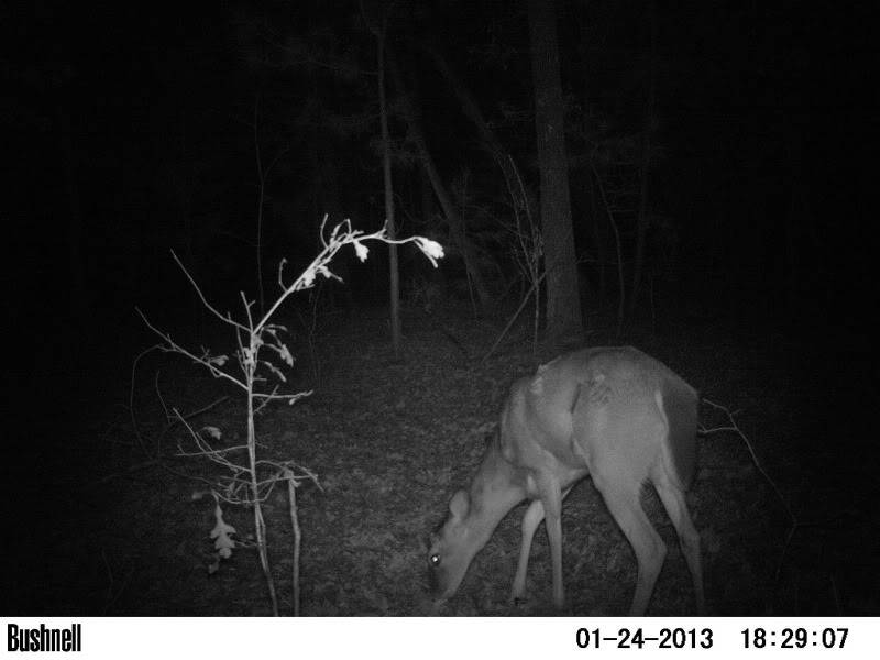 Wounded Button Buck? /Bushnell Trophy Cam PICT0133