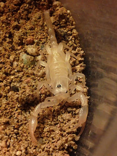 2nd instar Anuroctonus pococki AnuroBaby