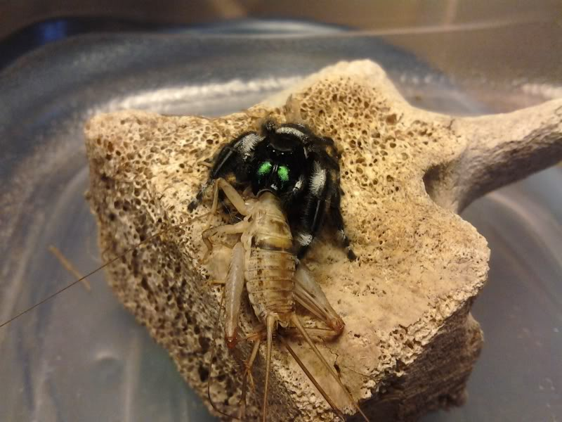 Your Tarantula and Spider pix.... - Page 3 IMG_20130325_152827