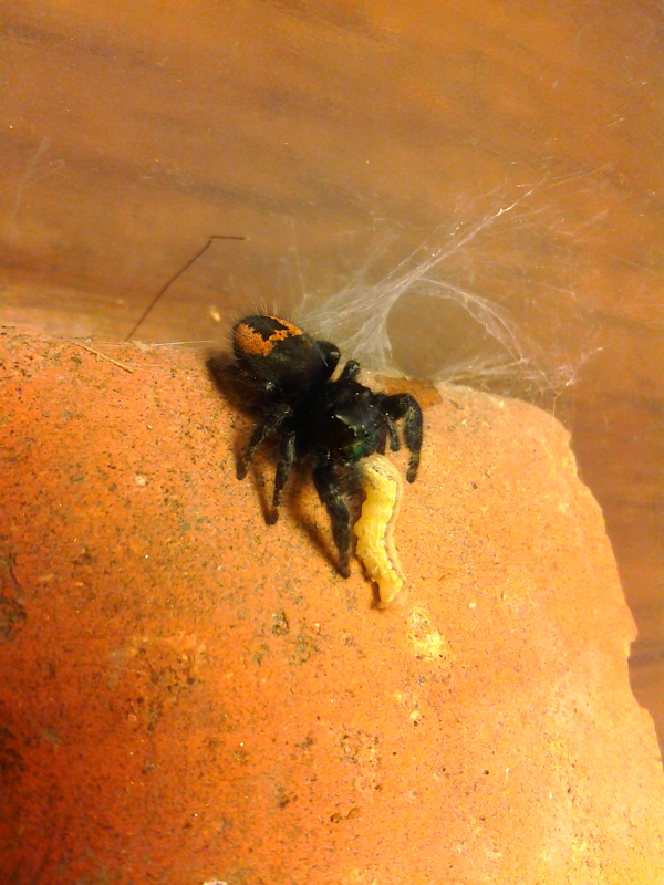 Your Tarantula and Spider pix.... - Page 3 IMG_20130326_162624