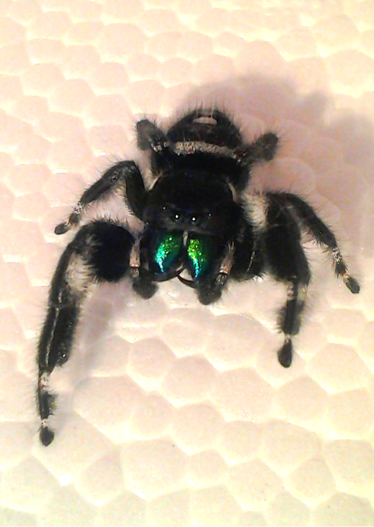 Your Tarantula and Spider pix.... - Page 3 IMG_20130330_184544